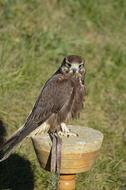 brown Falcon in captivity
