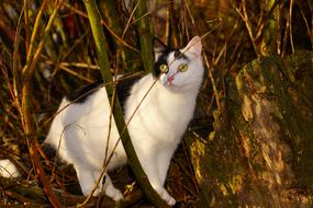 goodly Cat Female Curious