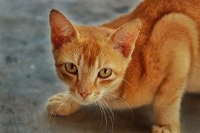 Cat Domestic Cute red