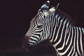 fabulous Zebra Nature