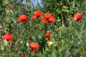 blooming red poppies in a wild meadow