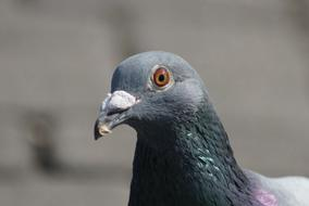 macro photo of the head of a city pigeon