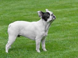 perfect Dog French Bulldog white