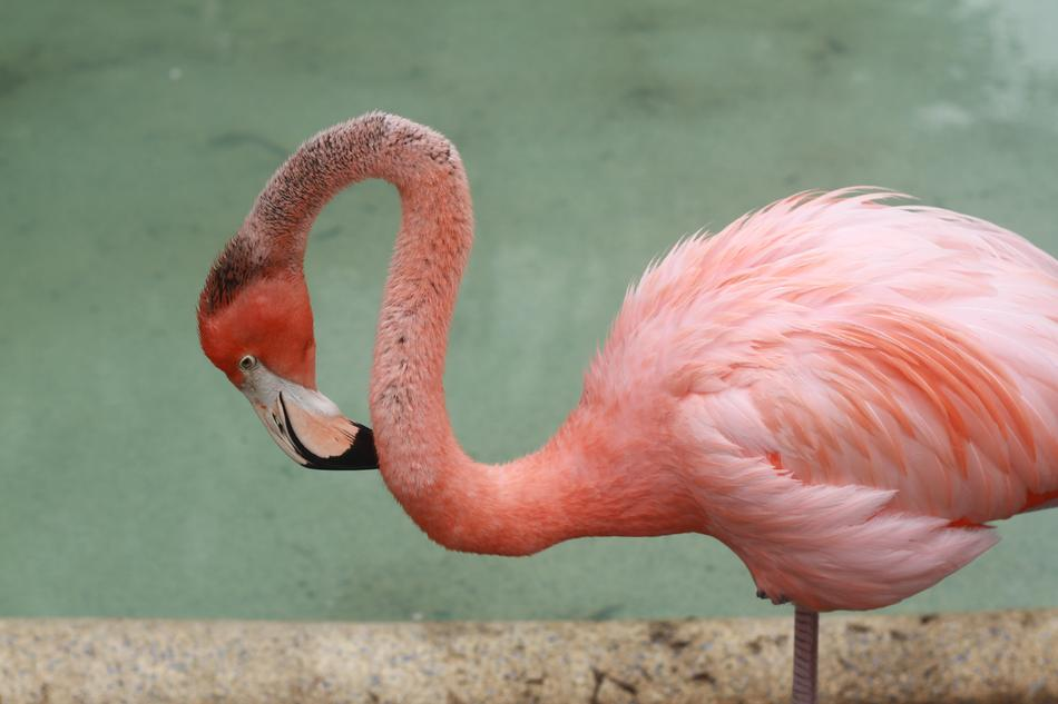 pink flamingo scratches its neck with a beak