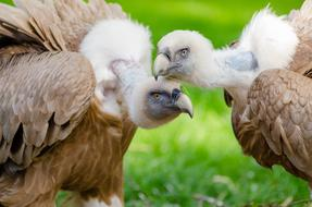 vulture chicks in a wildlife park