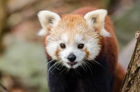 macro photo of a beautiful red panda