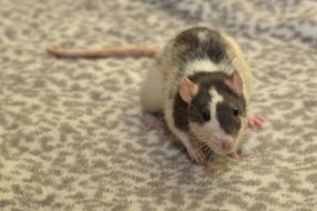 brown-white rat sitting on a spotted carpet