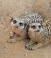 goodly Two Meerkats Mammal