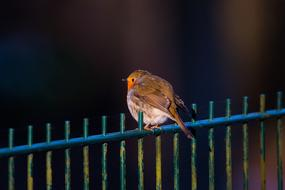 robin bird is sitting on a metal fence