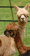 wonderful Cute Alpacas Animal