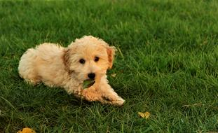 cute beige puppy lies on the lawn