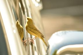 Canary bird looking at car mirror