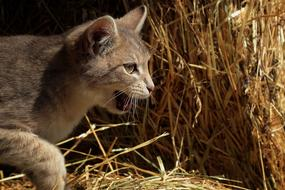 domestic gray cat on a background of dry grass