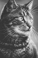 black and white photo of a domestic tabby cat