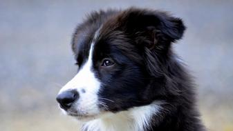 photo of a british shepherd puppy
