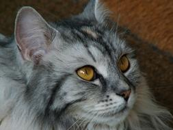 gray german longhaired cat
