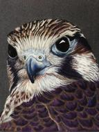 falcon bird animal