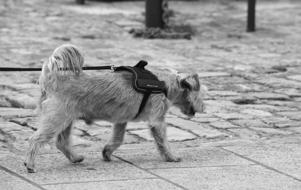 furry Dog walking on leash