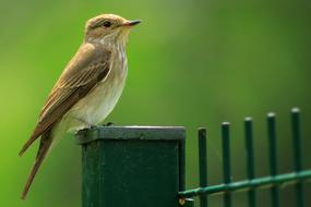 perfect Bird Spotted Flycatcher