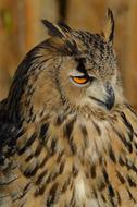 predatory eagle owl with beautiful plumage
