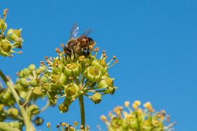 Honey Bee collecting Nectar at sky