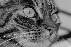 monochrome macro photo of a tabby cat