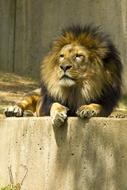 Lion resting in Zoo