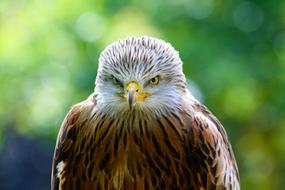 Red Kite Hawk
