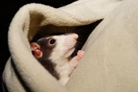 goodly Rat Comfortable