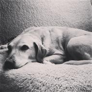 black and white photo of a lying labrador