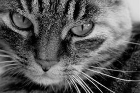 monochrome photo portrait of tabby cat