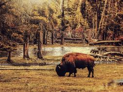 bison in the autumn forest outside the city