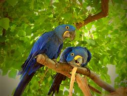 fabulous Parrot Blue Birds