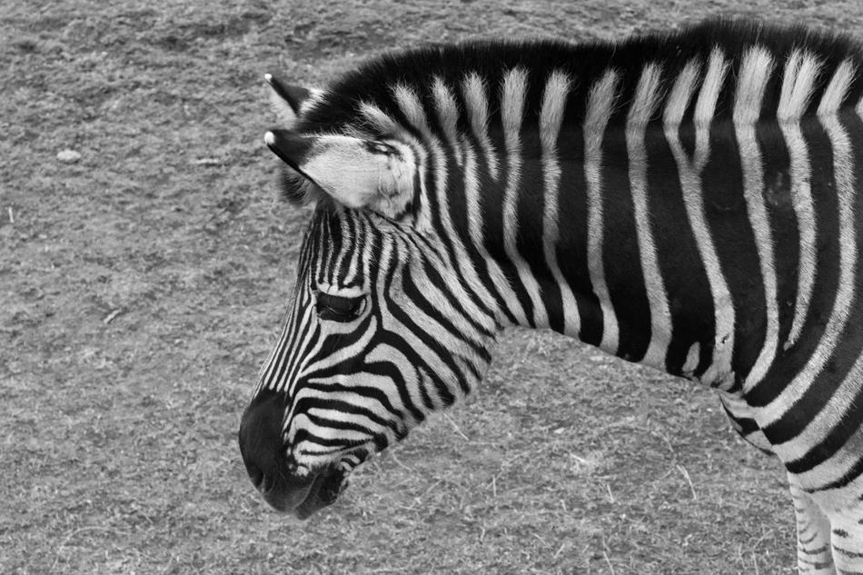 goodly Zebra Animal Zoo