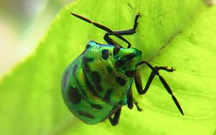 green shiny beetle with black spots on a leaf