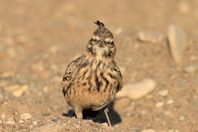 Bird Crested Lark