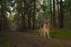 goodly German Shepherd Dog Forest