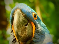 goodly Parrot Blue Bird