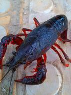 freshwater crayfish on the table