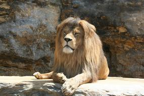 a lion with a long mane lies on a stone