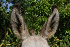 Donkey Ears Animal