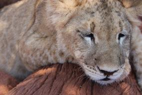 Lion Cub sleep