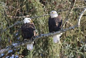 goodly Eagle Winter Pair
