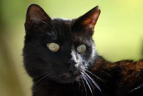 goodly cute Cat Black