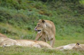 family of lions is resting in the savannah