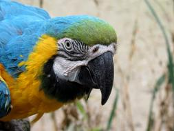 Parrot Ara Yellow blue