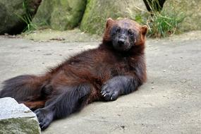 photo of a lying bear in the reserve Luneburg Heath, Germany
