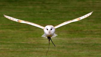 Barn Owl Flying above meadow