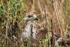 young Red-Tailed Hawk in grass