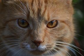macro photo of the face of a red cat with yellow eyes